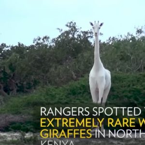 Due giraffe bianche uccise in Kenya: ora ne resta un solo esemplare VIDEO