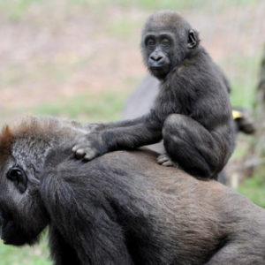 Covid anche nei gorilla, molti positivi allo zoo di San Diego: il virus gliel'ha passato un uomo