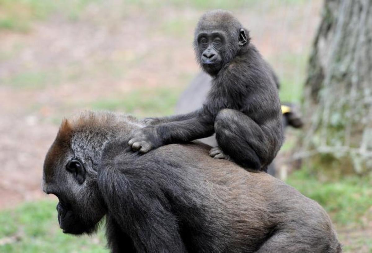 Coronavirus gorilla e scimpanzé in pericolo: scimmie a rischio contagio
