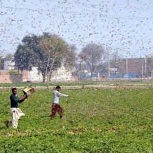 Pakistan, invasione di locuste: agricoltura ko. E' l'invasione peggiore negli ultimi 30 anni