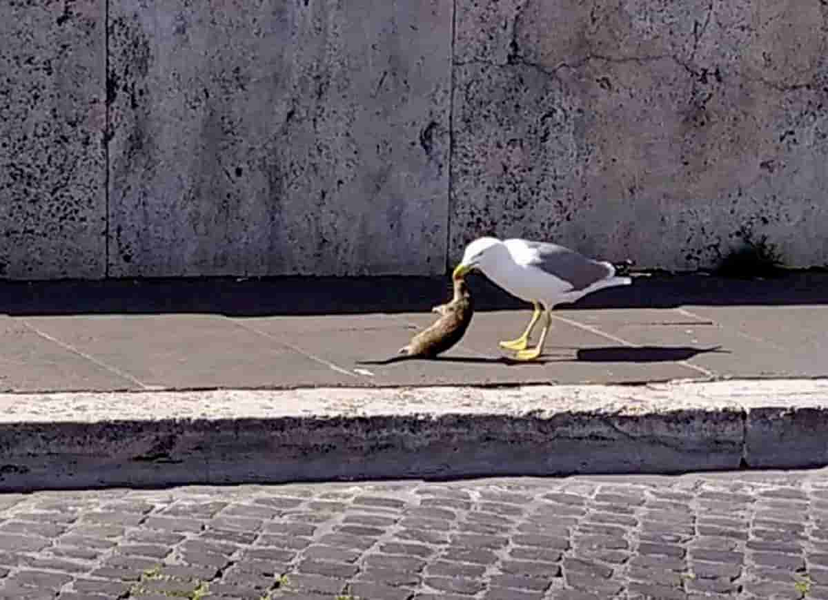 Coronavirus libera topi in tutta Italia: senza umani si affacciano in strada