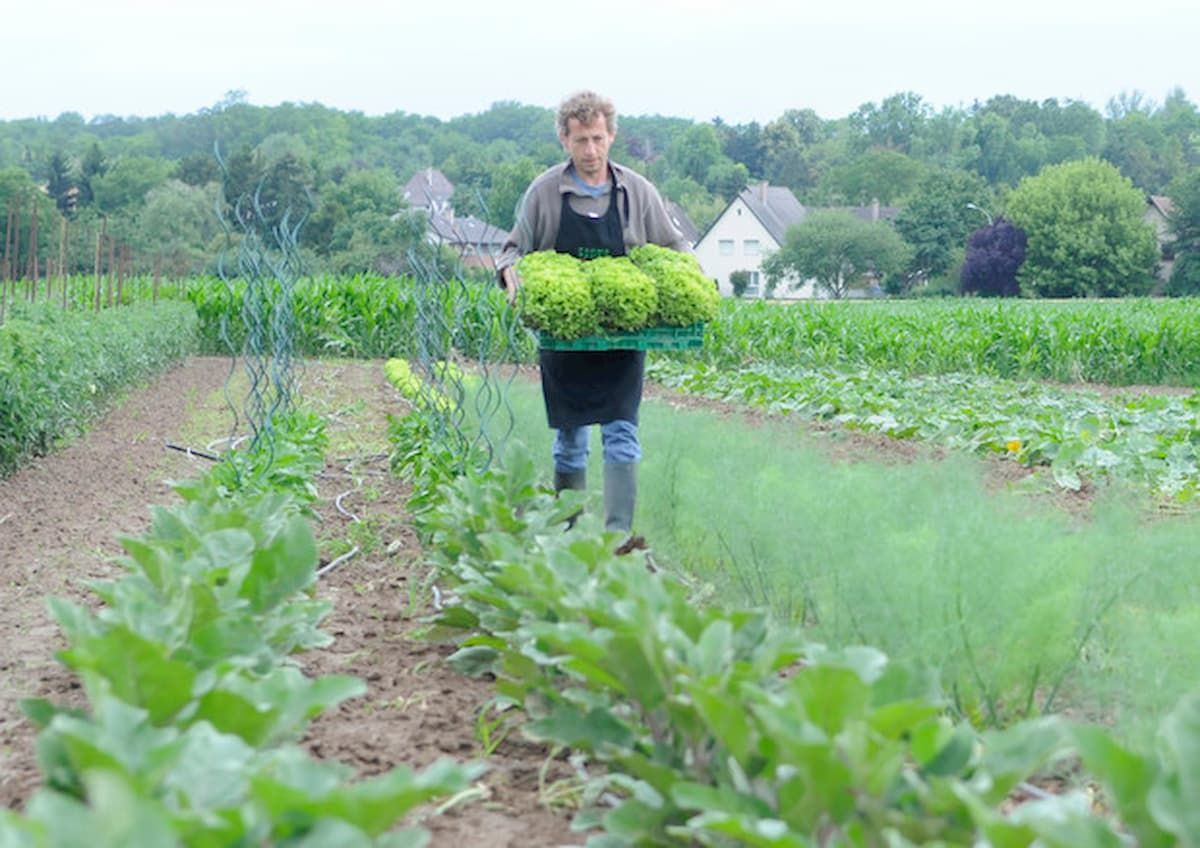 Coronavirus, in Gran Bretagna elettricisti e bancari mobilitati per raccogliere asparagi nei campi