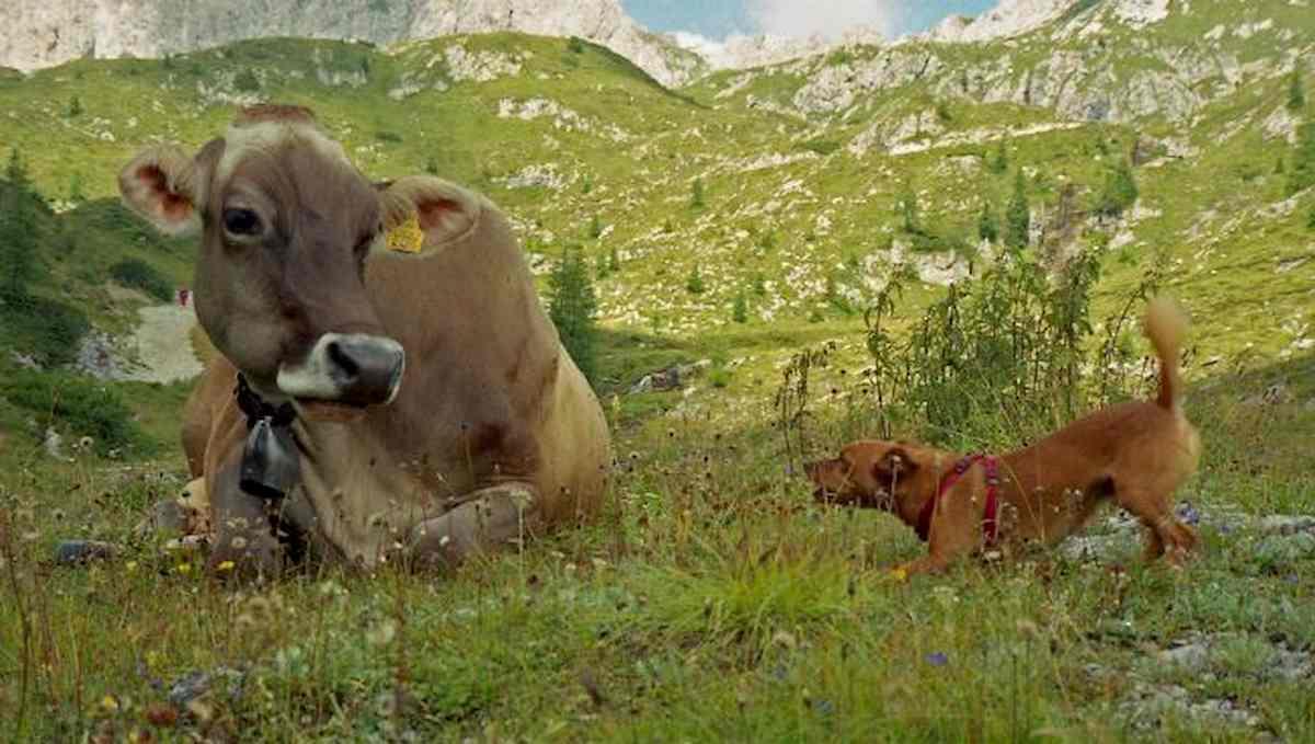 Coronavirus, cani e bovini immunizzano? Ma non erano fonte di contagio?