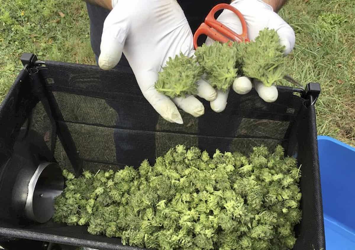 """Coronavirus, Marola (EasyJoint): """"Consumo cannabis light aumentato da 1 a 4 grammi a settimana"""""""