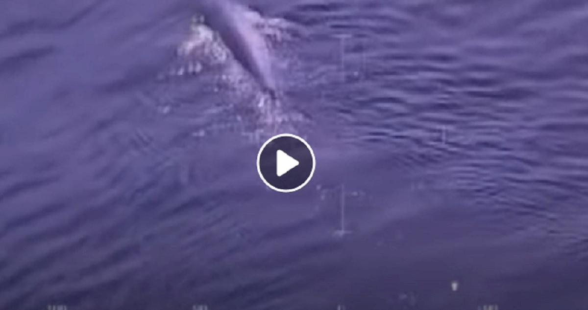 isola elba balena