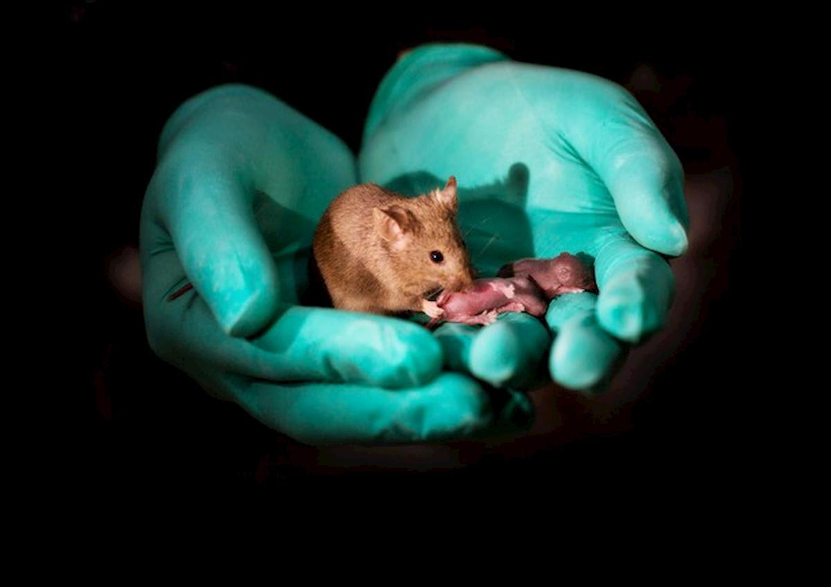 Wuhan, laboratorio: topo spuntino si divincola, provetta con virus scappa di mano...