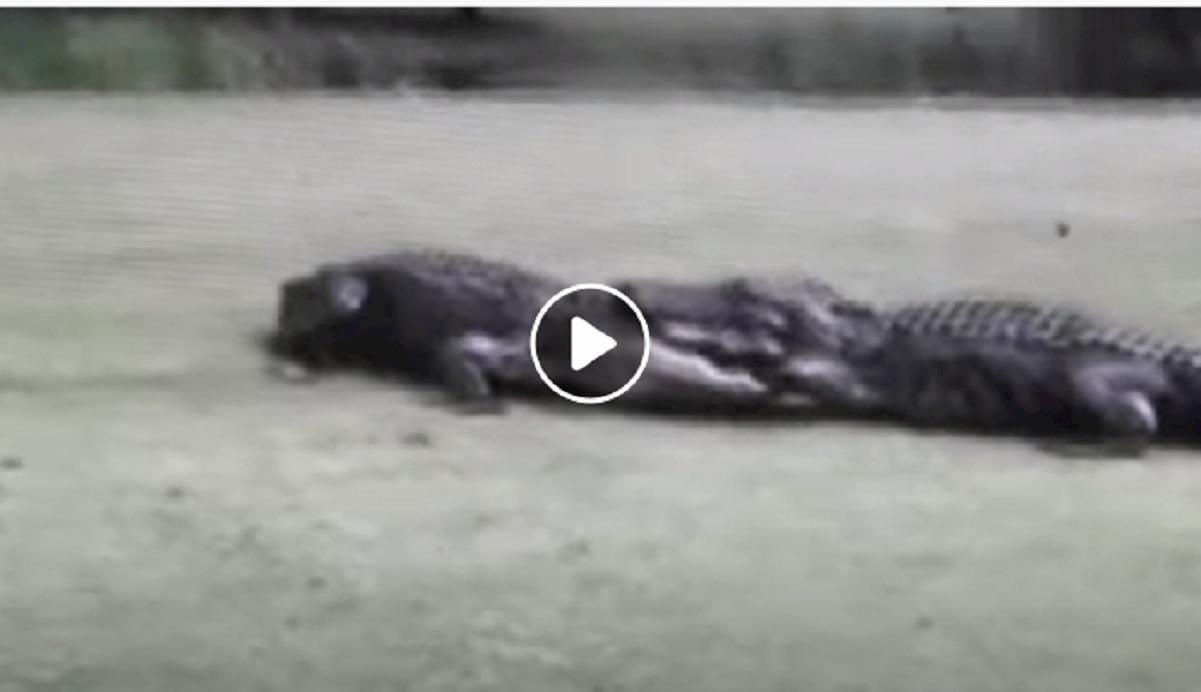 alligatori carolina del sud