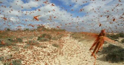 Invasione cavallette in Sardegna: ettari di raccolti devastati a Nuoro