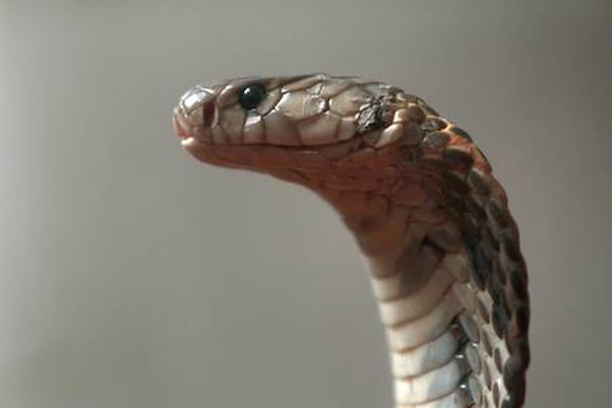 India, uccide la moglie con un cobra