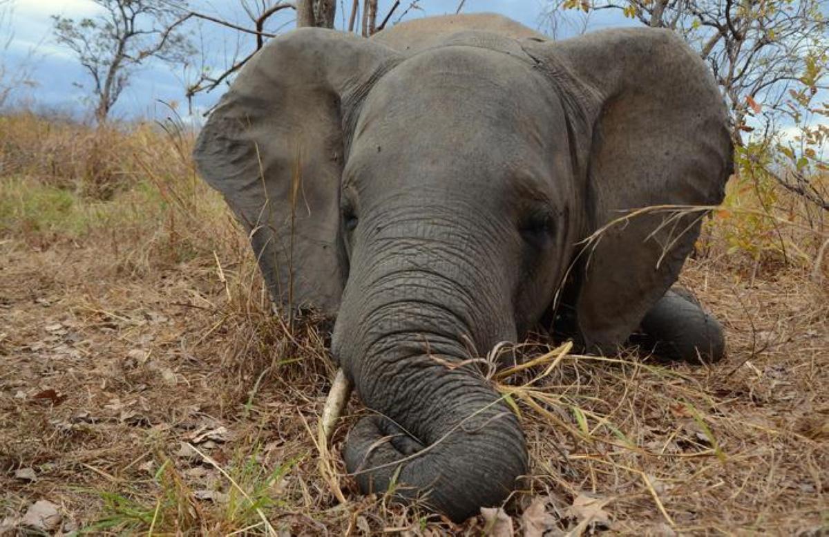 Elefanti, strage in Namibia: 10 uccisi per aver distrutto i raccolti