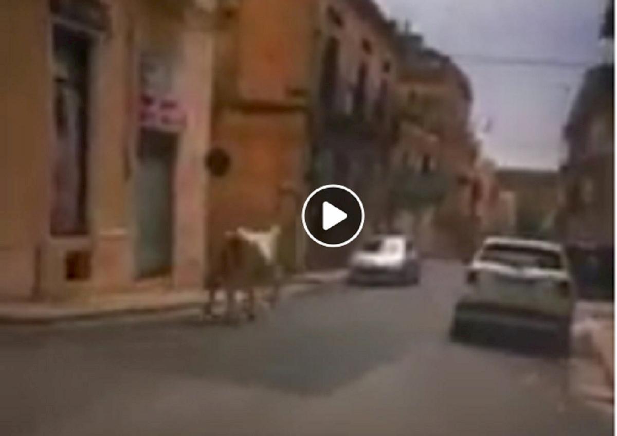 mucca ragusa