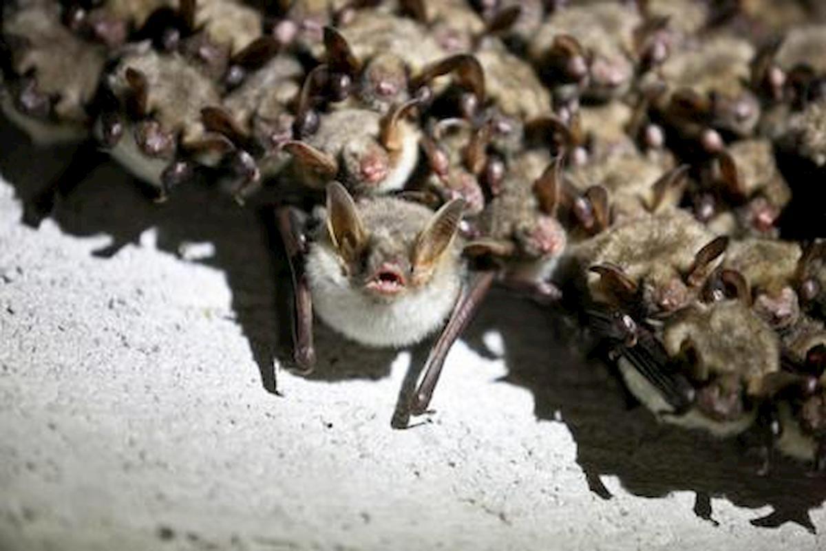 pipistrello covid 19