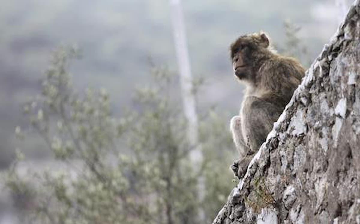 India, scimmie rubano campioni di sangue di pazienti positivi al coronavirus