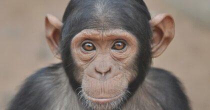 """Gli scimpanzé muovono le labbra come gli umani. E """"parlano"""" con ritmi diversi"""