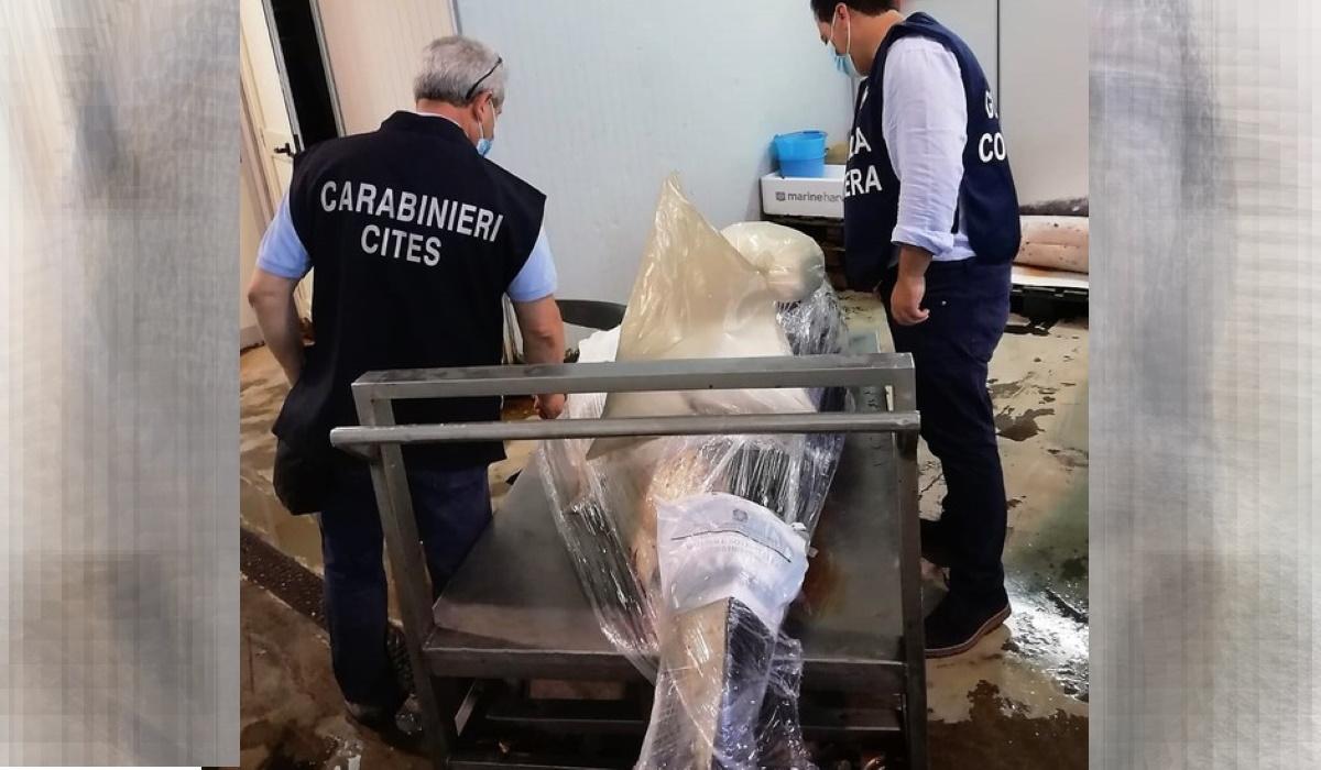 Squalo mako catturato a Catania: carcassa trovata in cella frigo