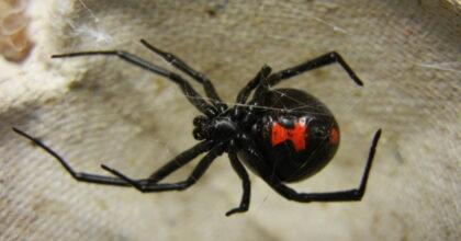 Vedova Nera, si fanno mordere dal ragno velenoso per avere superpoteri