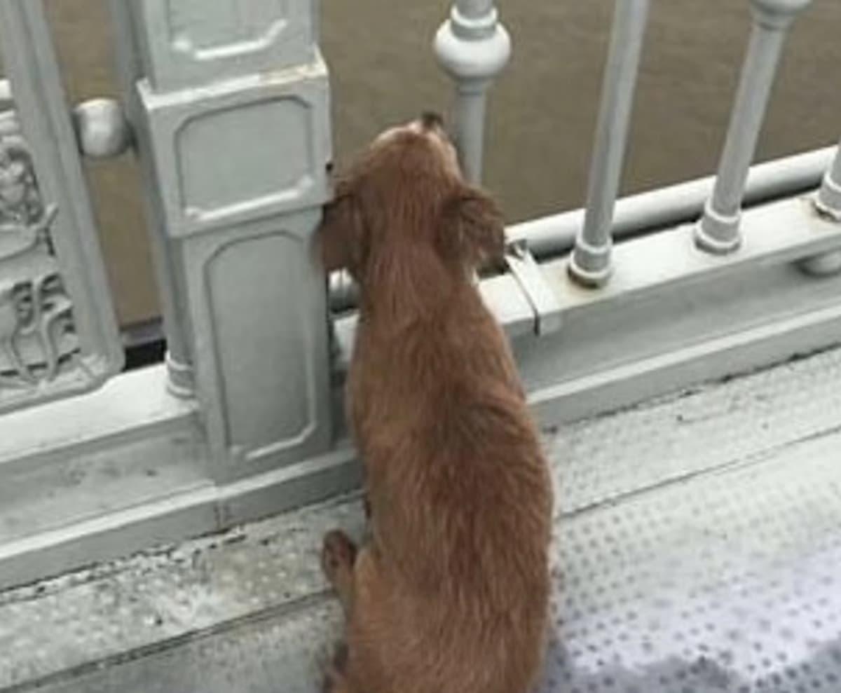 Cina, cane fedele vede il proprio padrone gettarsi dal ponte e ne aspetta il ritorno per giorni