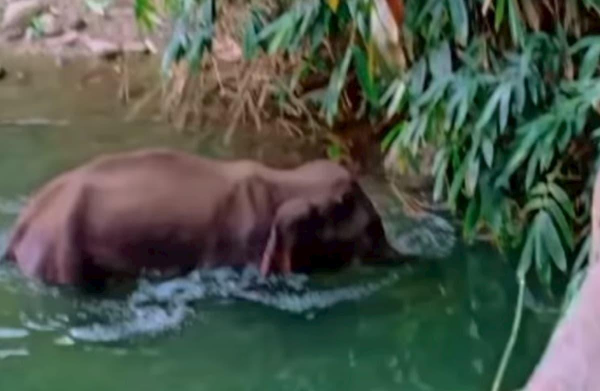 Elefantessa incinta muore in India: uccisa con un ananas pieno di petardi