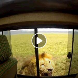 Tanzania, turista prova ad accarezzare un leone e rischia la vita