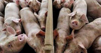 Usa, migliaia di maiali di un mattatoio soppressi usando vapore bollente