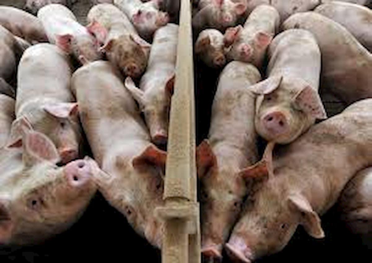 Coronavirus dei maiali si replica nell'uomo? Sos salto di specie, ma può bastare il Remdesivir