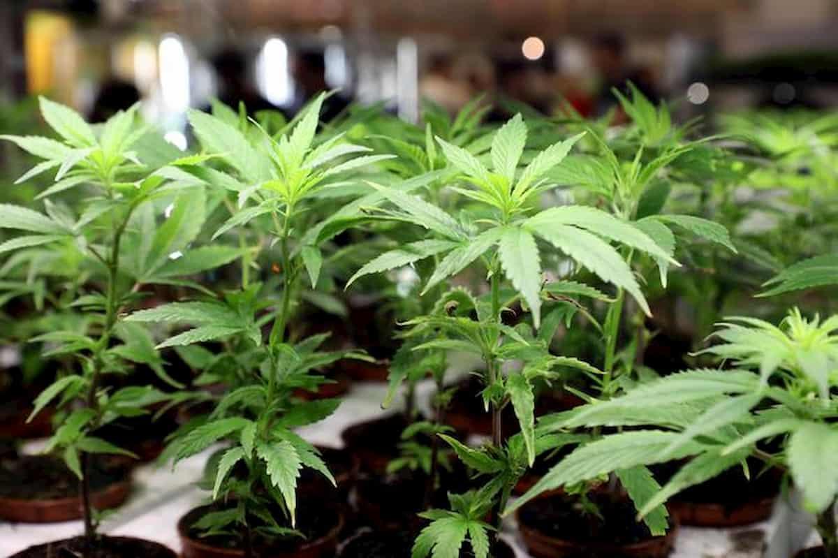Cannabis, 16 parlamentari la coltivano in casa