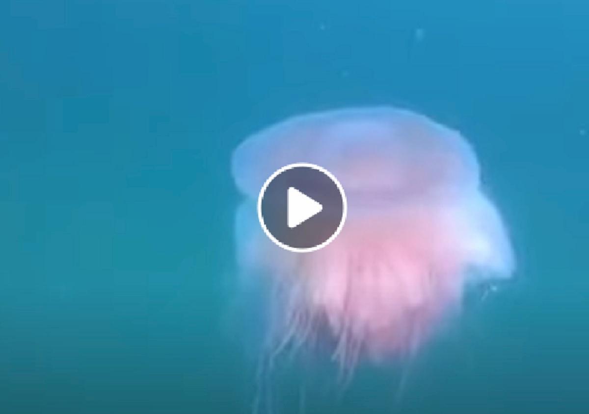 medusa avvistata a trieste