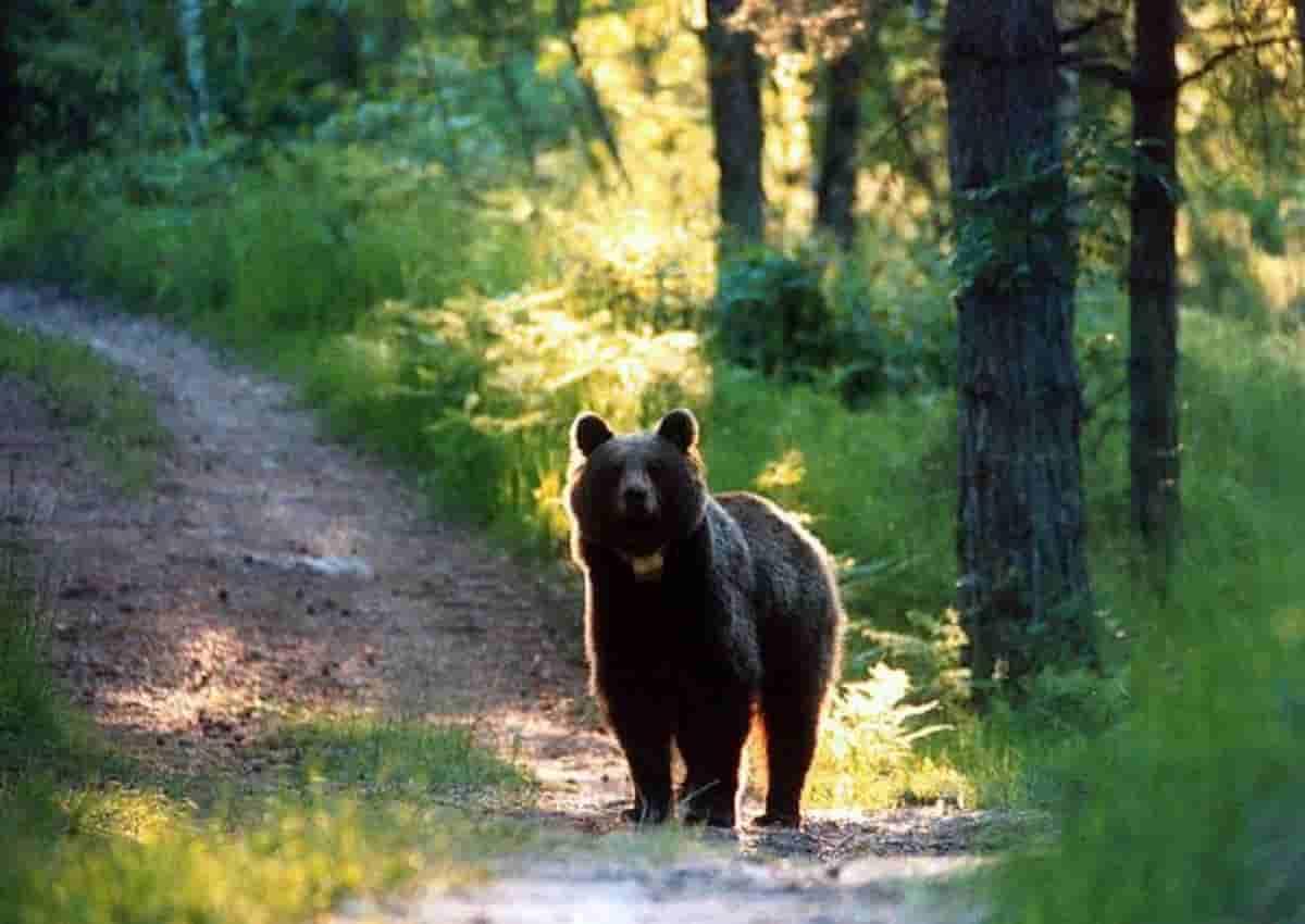Un orso in una foto d'archivio Ansa