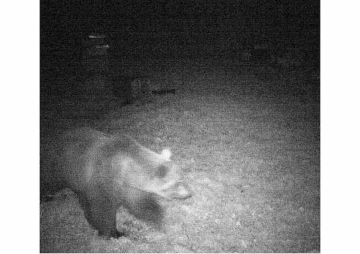 foto primo orso avvistato piemonte