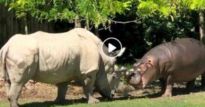 rinoceronte morte ippopotamo
