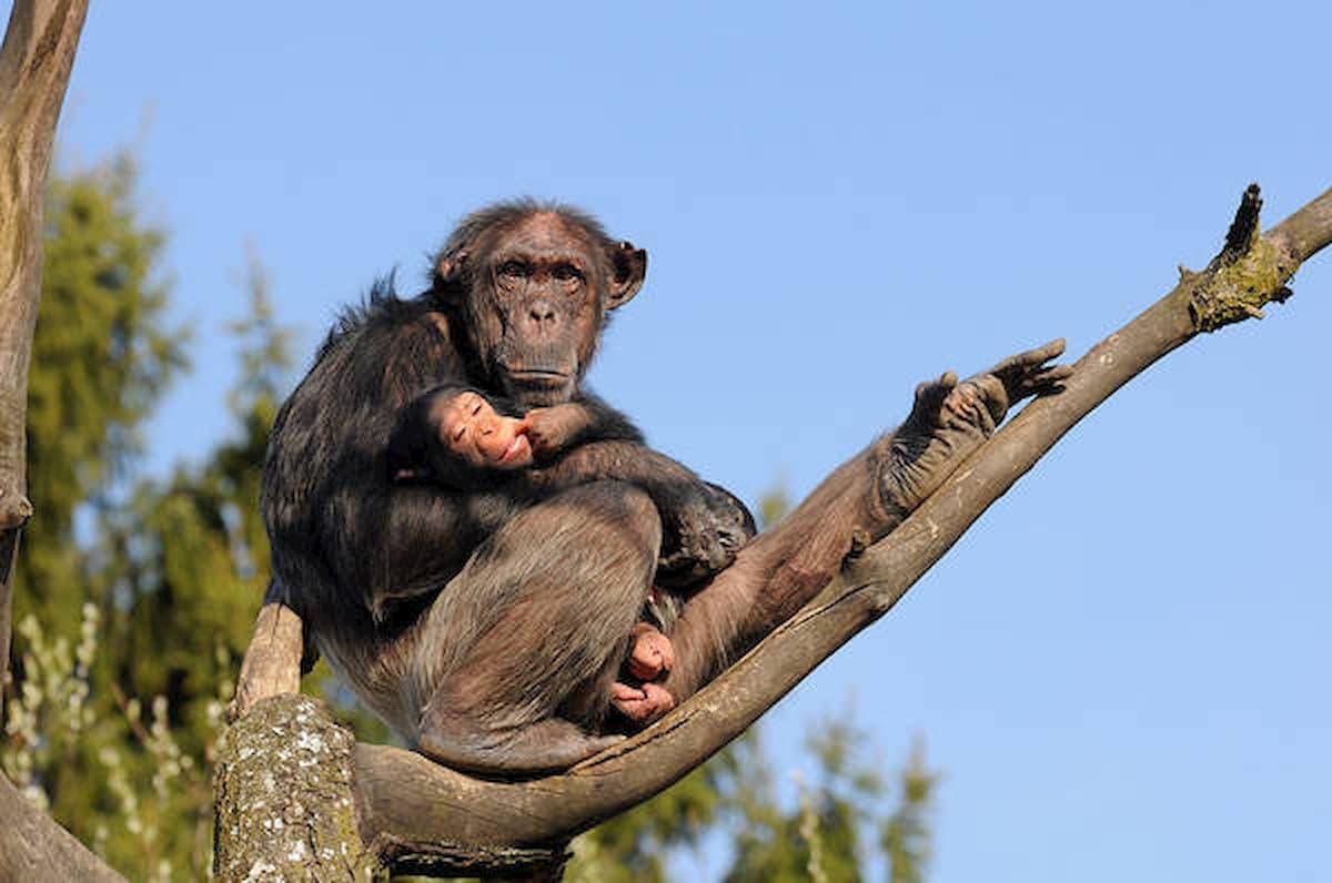 Scimpanzé e oranghi sarebbero a rischio estinzione per il coronavirus