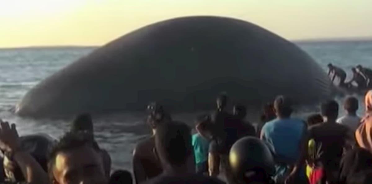 Indonesia, balena morta di 23 metri in spiaggia a Kupang VIDEO