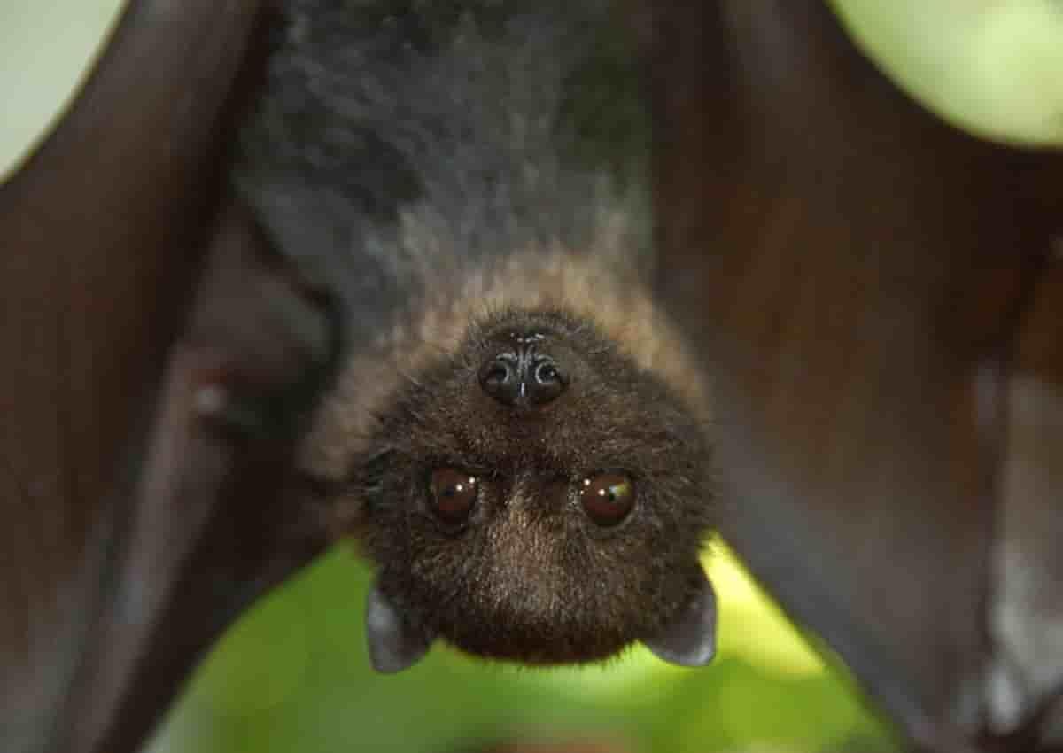 Bambina morsa da pipistrello, foto d'archivio Ansa