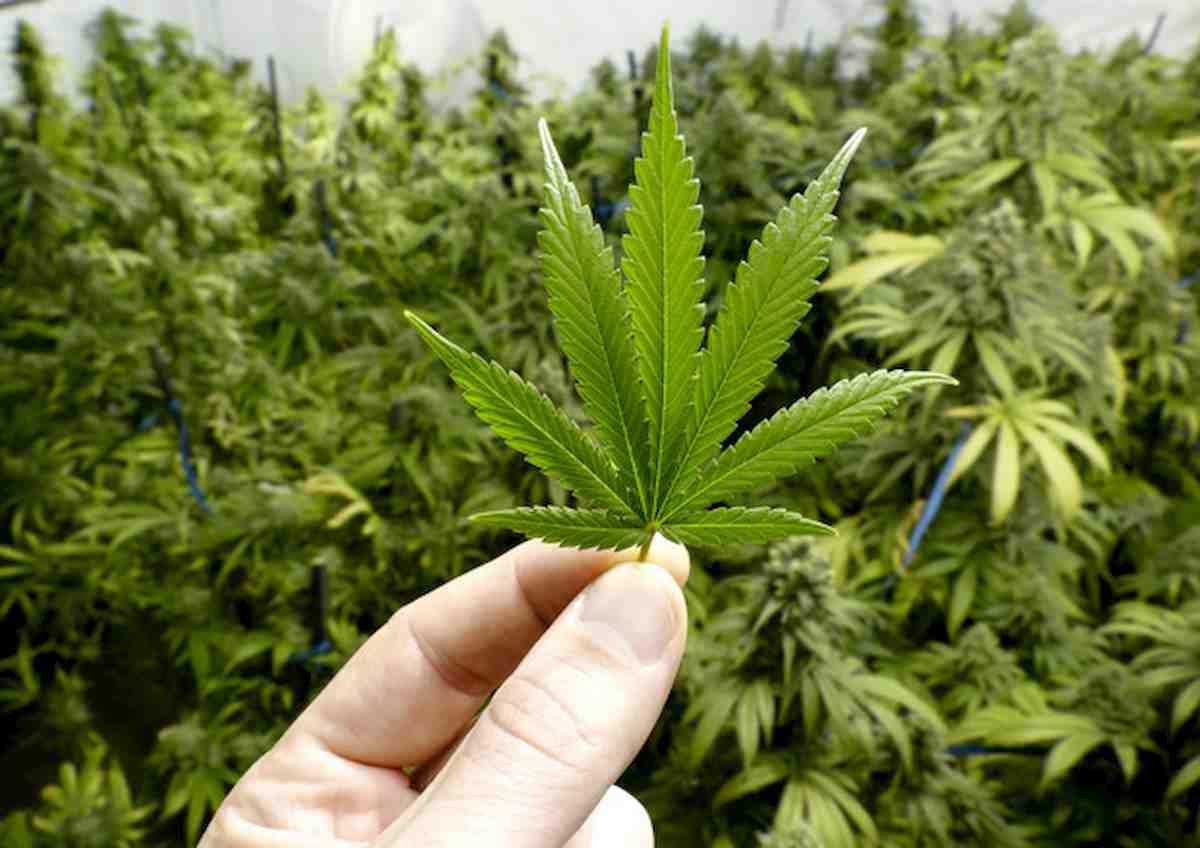 Chieti, malato di fibromialgia coltiva 5 piantine di cannabis: giudice lo assolve