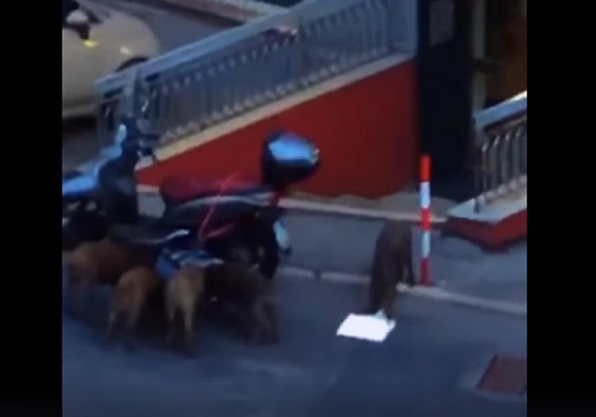 Cinghiali assaltano motorino