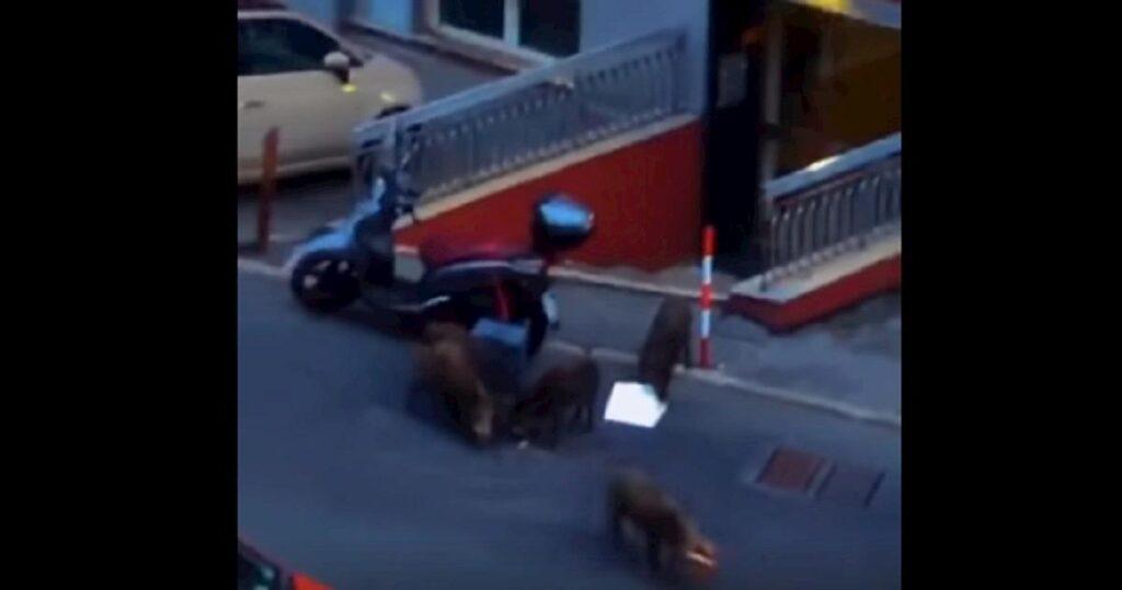 Genova, cinghiali su motorino