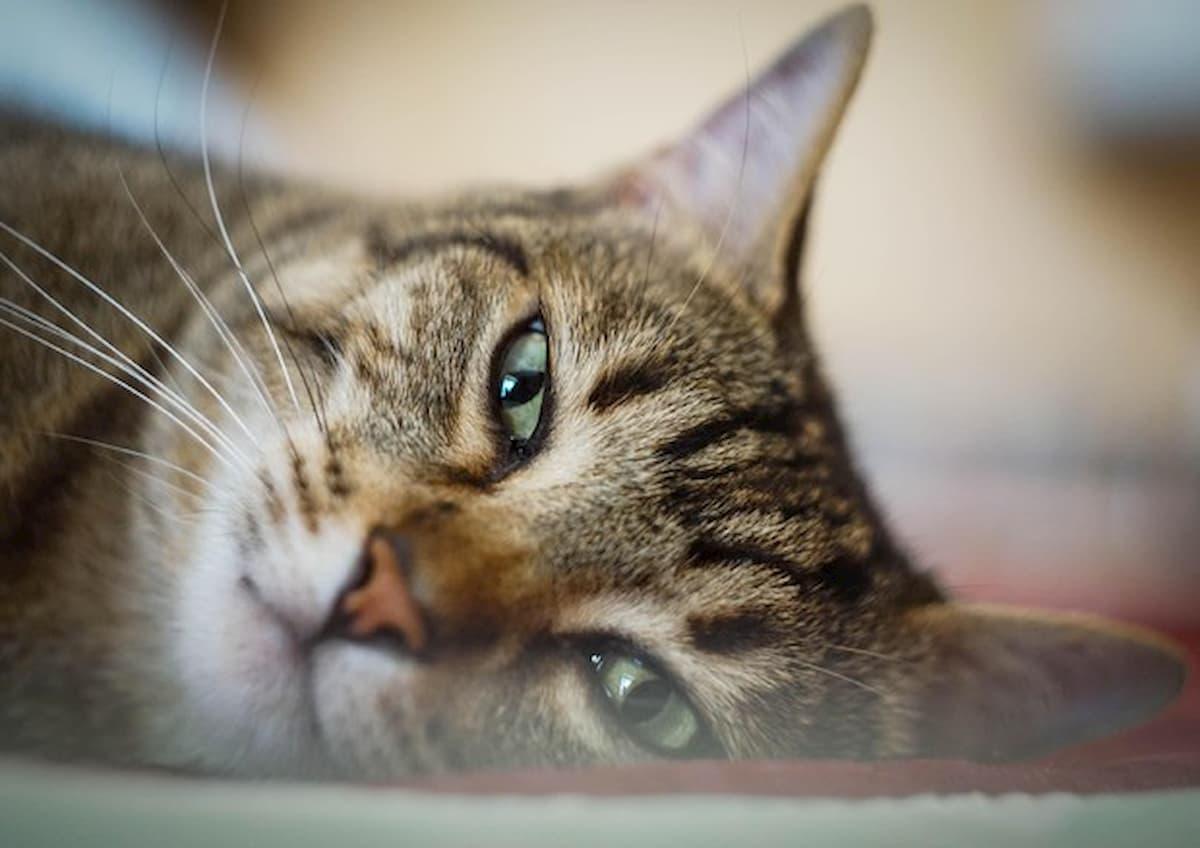 A Bristol il gatto Avery ogni giorno porta a casa degli occhialini da nuoto