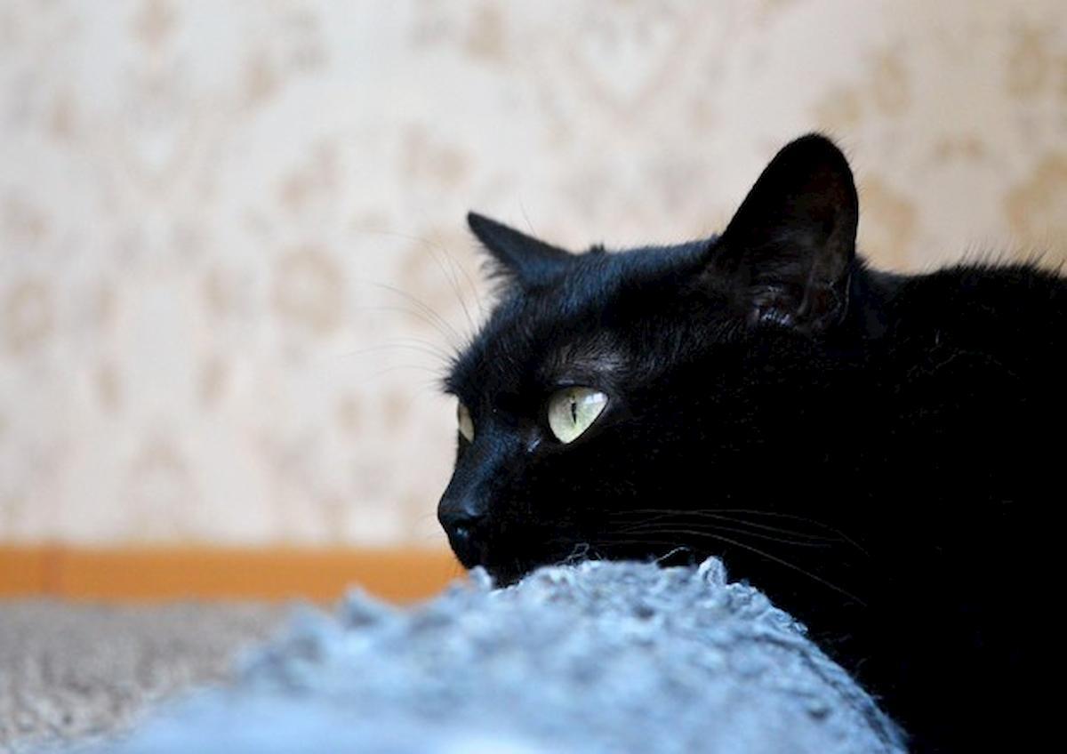 gatto nero, foto Ansa
