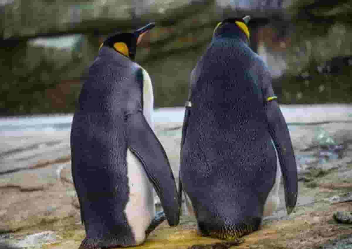 Pinguino, Ansa