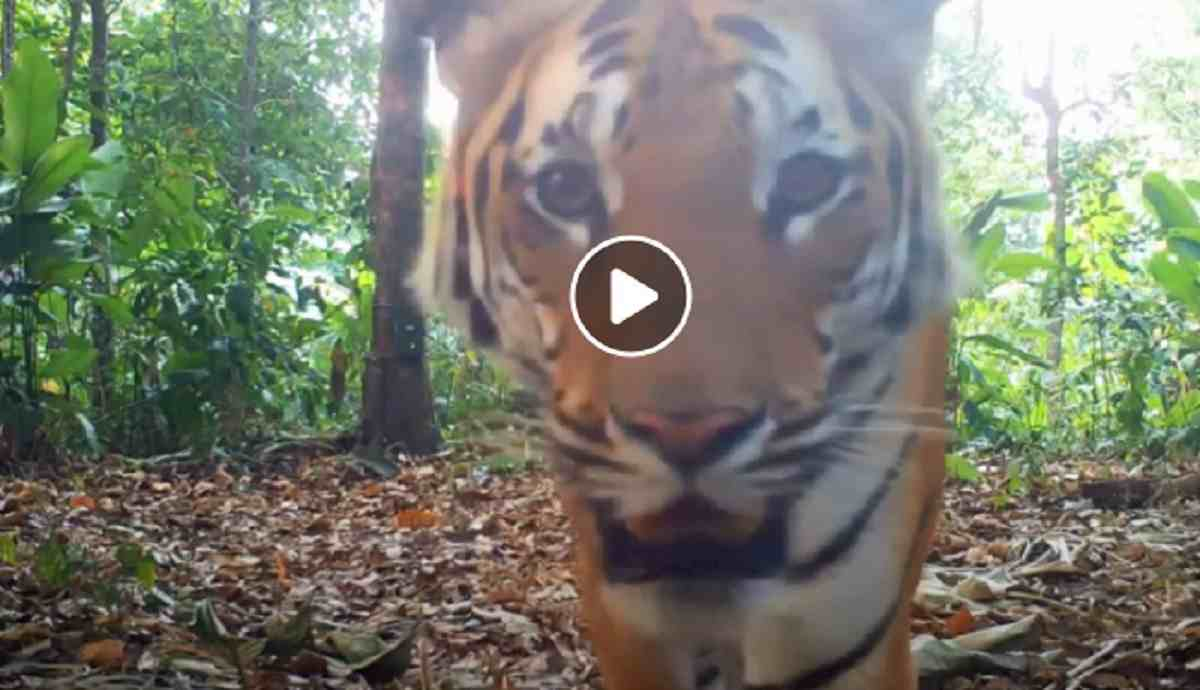 tigri in thailandia