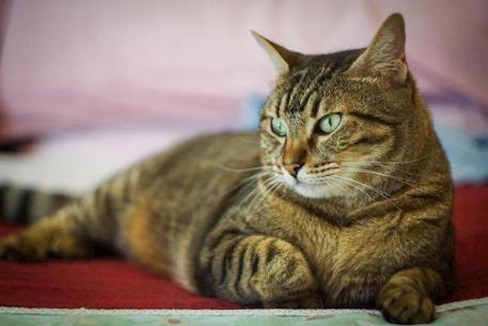 GC376, farmaco per gatti funziona contro il coronavirus? In laboratorio sì