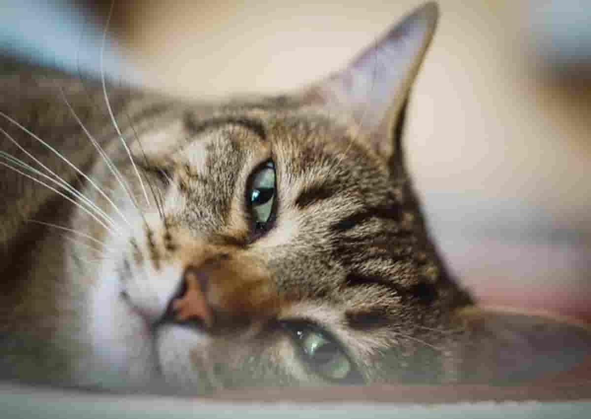 Gatti positivi al Coronavirus sono molti più di quanto si crede. A Wuhan il 15% contagiato da umani