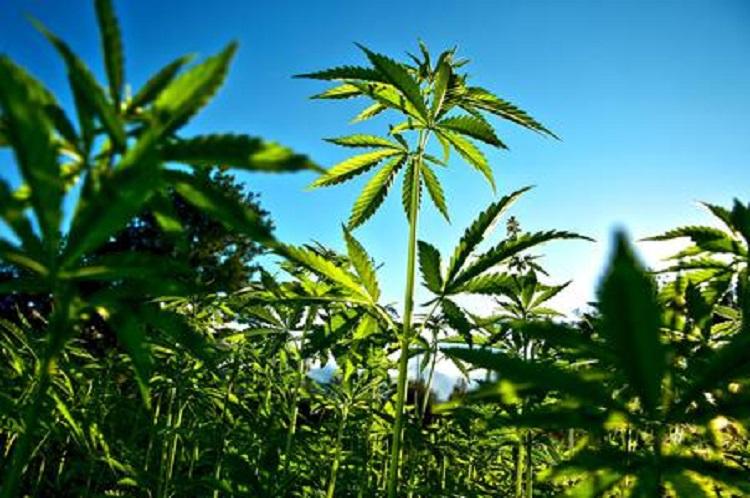 Trinitapoli, una foto d'archivio Ansa di una piantagione di marijuana