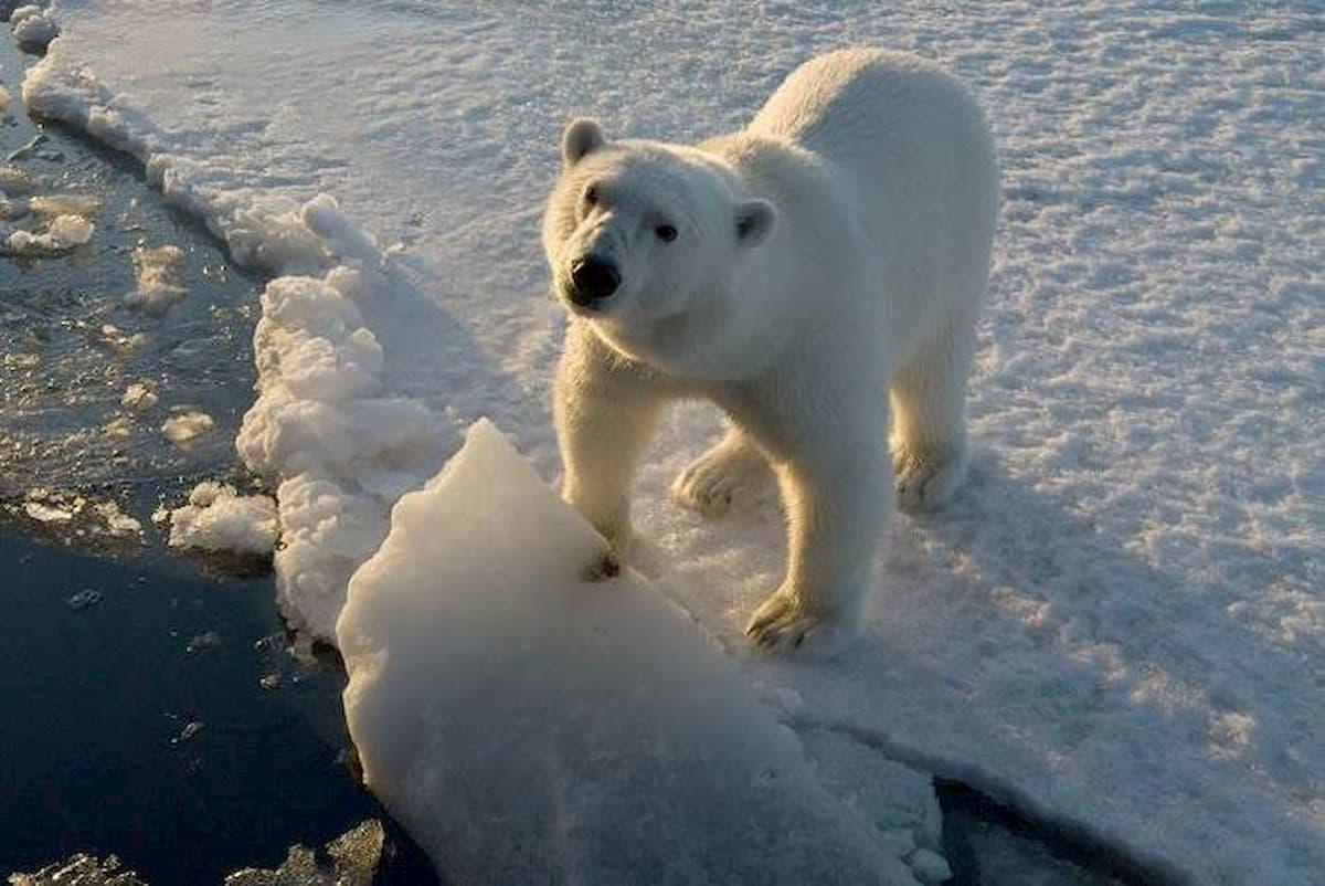 Svalbard, uomo ucciso da un orso polare in cerca di cibo vicino ad un campeggio