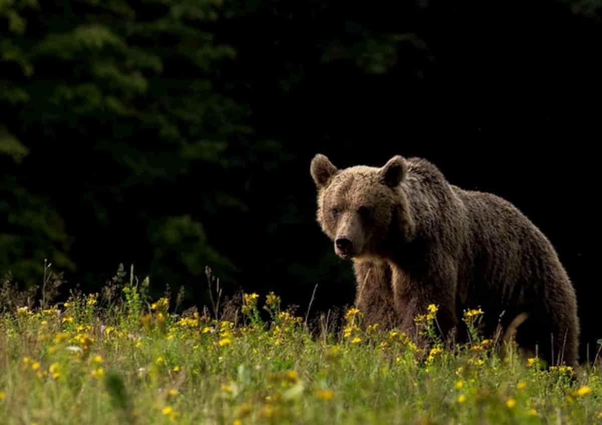 Carabiniere aggredito da un orso ad Andalo
