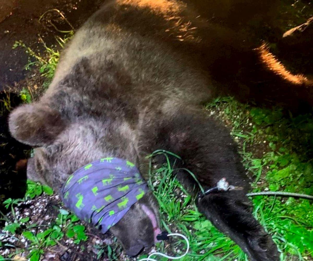 Andalo (Trento), orso ferisce un carabiniere. Catturato