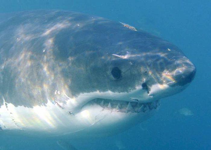 Australia, squalo bianco attacca moglie. Surfista eroe la salva prendendolo a pugni