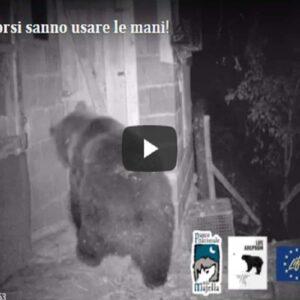 Parco della Majella, l'orso apre la porta ed entra nel pollaio VIDEO