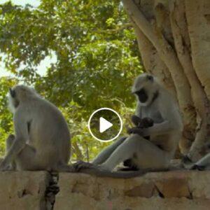 Nuovo primate scoperto in Birmania: ma il Popa Langur rischia già adesso l'estinzione