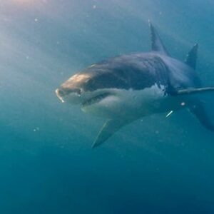 Sudafrica squali bianchi